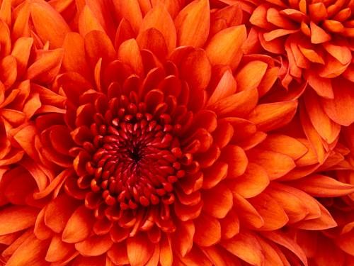 Chrysanthemumf27e5861e85302eb.jpg
