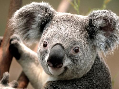 Koala1a03a6be8a2b38c9.jpg